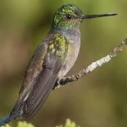 colibri 1